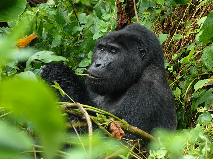What You Should Know About Gorillas