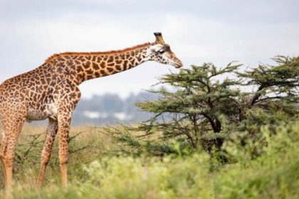 Giraffes in Kidepo Valley National Park. Over the years, giraffes have been thought to have only a specie. PHOTO/XINHUA